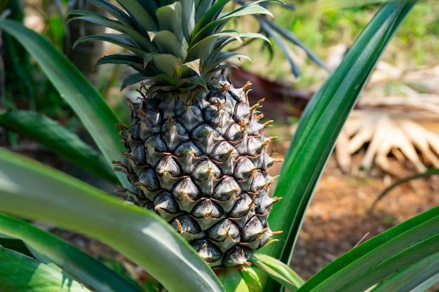 La prima fase dell'ananas in tailandia. l'ananas è un frutto tropicale ricco di vitamine