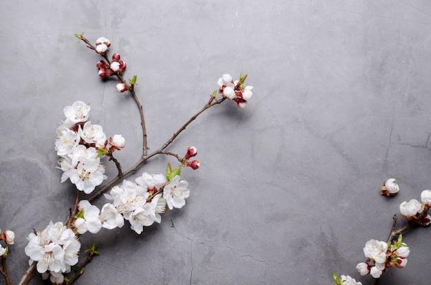 La primavera fiorisce con le albicocche sboccianti dei rami su fondo grigio. concetto piatto laico.