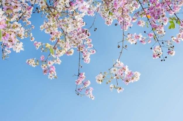 La priorità alta di bellezza fiorisce sull'albero di tromba dentellare