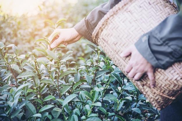 La raccolta dell'uomo / seleziona le foglie di tè verdi fresche all'alto campo del tè della terra in chiang mai thailand