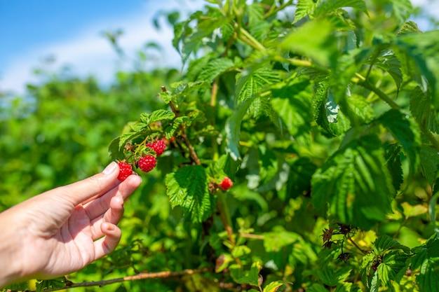La ragazza un giorno di estate soleggiato luminoso raccoglie i lamponi maturi rossi da un cespuglio verde