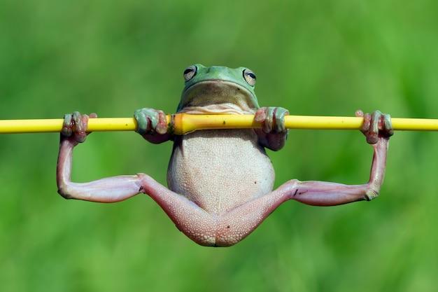 La rana bianca australiana divertente di albero assomiglia alla ginnastica sul ramo