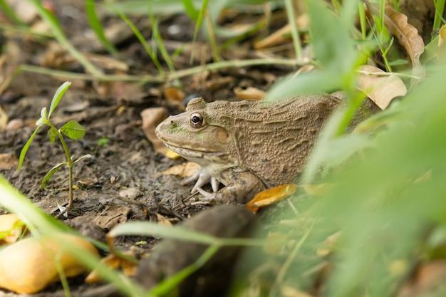 La rana vive nella foresta.