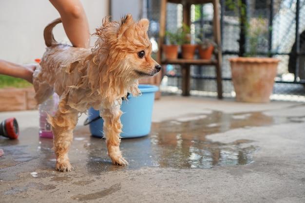 La razza pomeranian o piccolo cane è stata fatta la doccia dal proprietario e si trovava su un pavimento di cemento