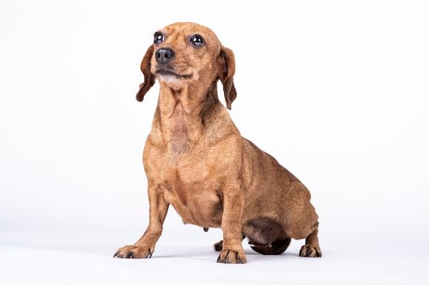 La ricerca del cane della razza di teckel che guarda su, mostra la felicità