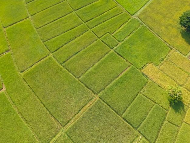 La risaia verde di vista aerea ha archiviato da sopra, azienda agricola e terra agricola a kalasin in thiland.