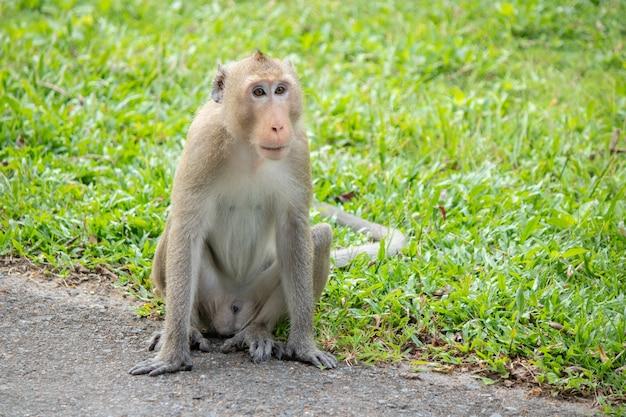 La scimmia asiatica si siede in un parco