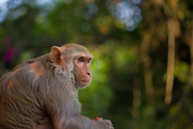 La scimmia macaco rhesus