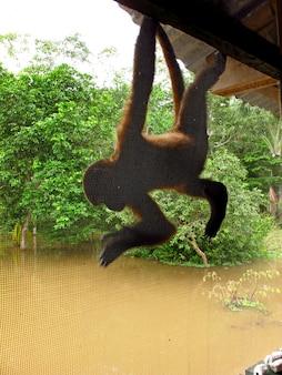 La scimmia nel rio delle amazzoni, perù, sud america
