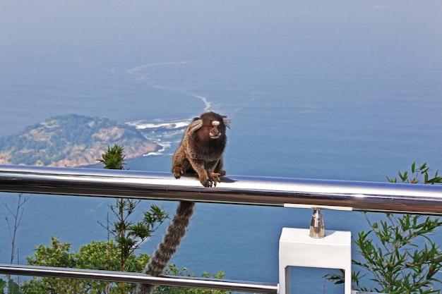 La scimmia sul monte sugarloaf a rio de janeiro, brasile