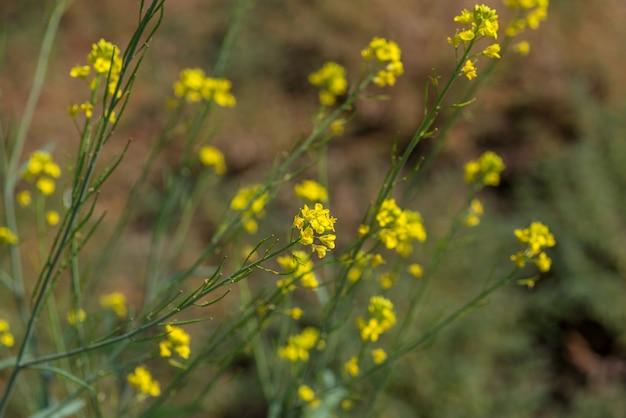 La senape fiorisce la fioritura sulla pianta al campo dell'azienda agricola con i baccelli. avvicinamento.