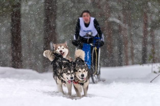 La squadra di cani da slitta husky tira una slitta