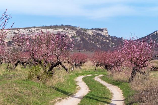 La strada attraverso la pesca frutteto in montagna, primavera.