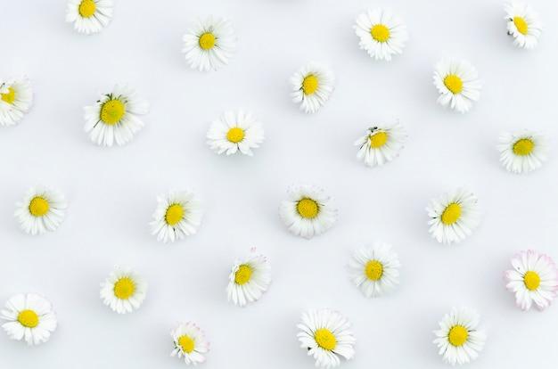 La struttura dei fiori della camomilla di concetto dell'estate su fondo bianco nella disposizione piana, vista superiore