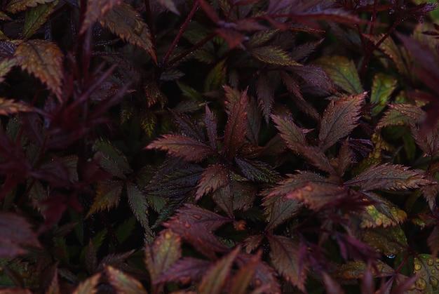 La struttura rosso borgogna scura delle foglie di astilbe japonica nelle gocce di acqua dopo pioggia