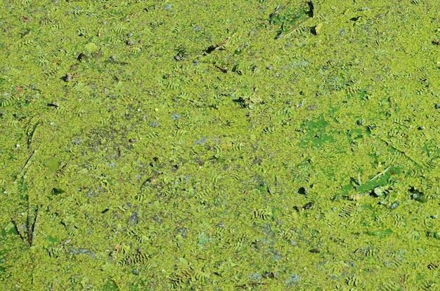 La superficie di una vecchia palude ricoperta di lenticchia d'acqua e foglie di giglio