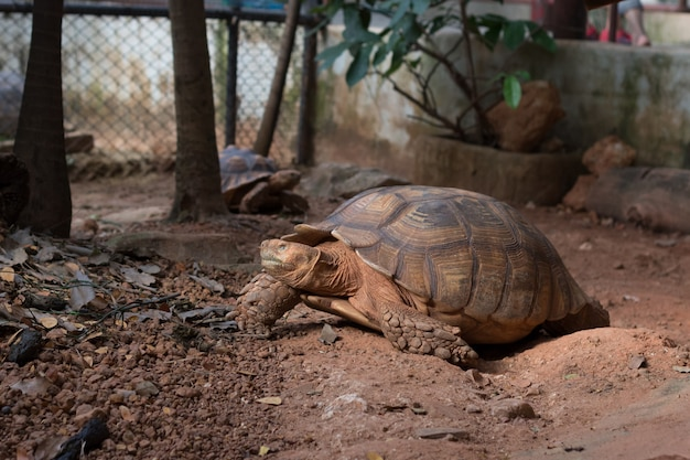 La tartaruga sulcata, la tartaruga speronata africana (geochelone sulcata) è una delle più grandi specie di tartaruga nel mondo.