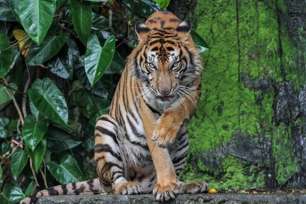 La tigrata è seduta