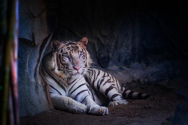 La tigre bianca giace nella grotta.