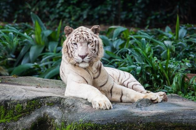 La tigre bianca
