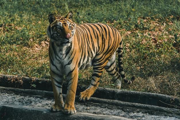 La tigre nello zoo è in attesa di cibo dal personale.