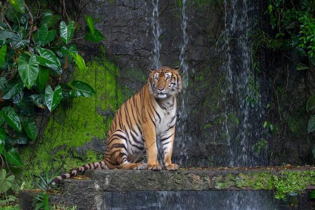 La tigre si siede davanti alla cascata