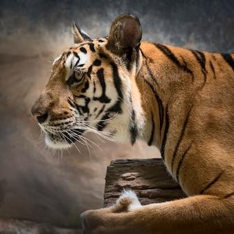 La tigre si sta concentrando su qualcosa di serio.