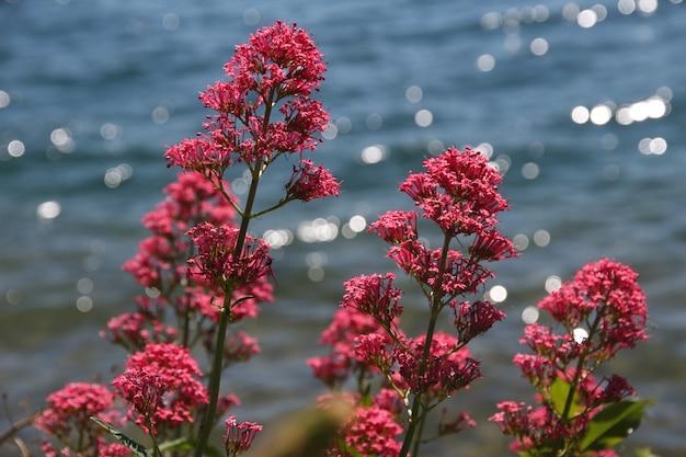 La valeriana rossa ha fiorito in molla europea del fondo dell'acqua