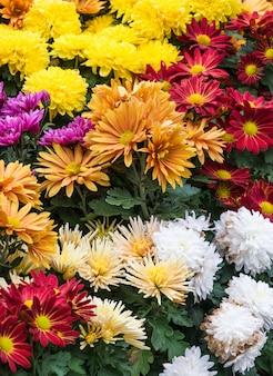 La varietà di gerbera colorata.