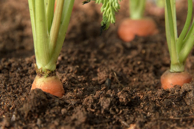 La verdura della carota si sviluppa nel giardino nel primo piano organico del fondo del suolo