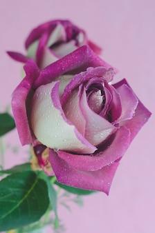 La viola è aumentato sulla superficie rosa con gocce d'acqua. macro.