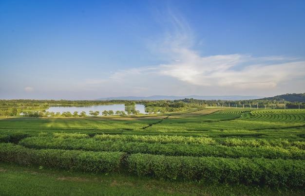 La vista del giardino del tè si trova a sing park, nella provincia di chiang rai.