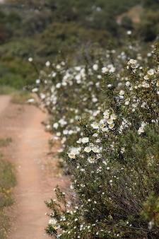 La vista di bello cistus bianco ladanifer fiorisce su una strada non asfaltata.