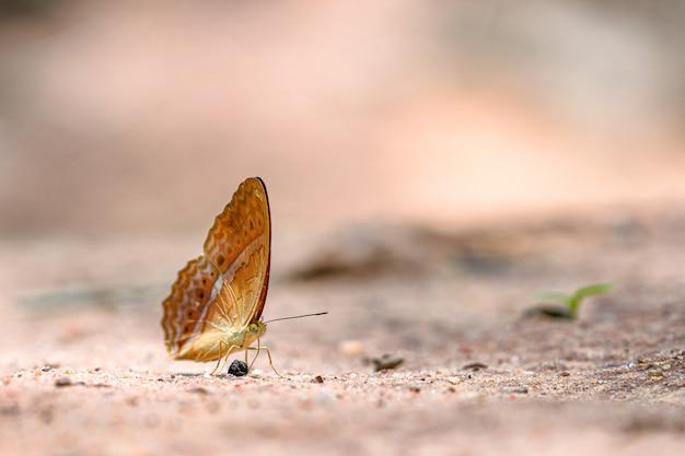 La vista laterale della farfalla marrone con il punto bianco sulle ali si è appollaiata sulla pietra
