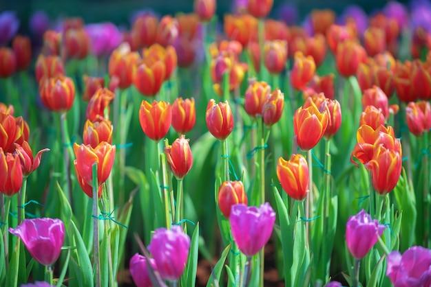 La vista naturale dei fiori del tulipano fiorisce in giardino con i tulipani arancio come molla di mattina