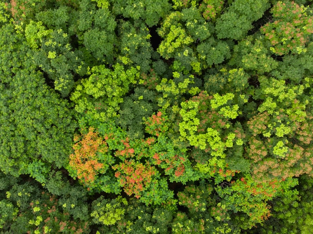 La vista superiore aerea di molti l'albero verde in foresta tropicale o la foresta pluviale ha sparato dal fuco.