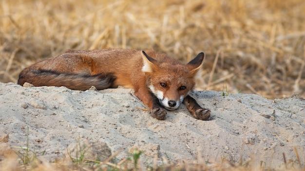 La volpe rossa che si trova con le zampe ha allungato in avanti sulla mattina dell'estate in natura.