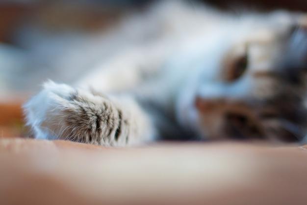 La zampa del gatto grigio a fuoco, il gatto si trova sullo sfondo in sfocatura