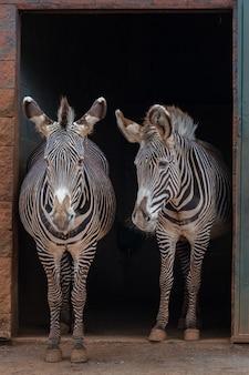 La zebra di grevy