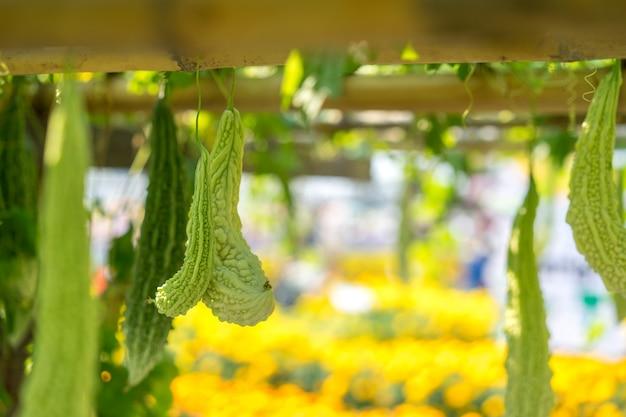 La zucca amara è anche conosciuta come melone amaro o pera di balsamo, che cresce nel giardino biologico.