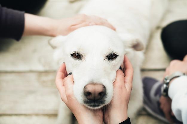 Labrador bianco si siede su un pavimento di legno e le persone intorno al cane accarezzano la testa. il cane è un amico dell'uomo. fiducia e amicizia