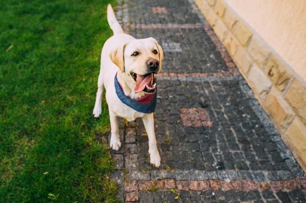 Labrador cane in piedi in erba con il suo camuffamento