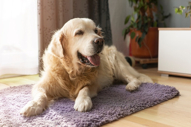 Labrador dell'angolo alto che si siede sul tappeto