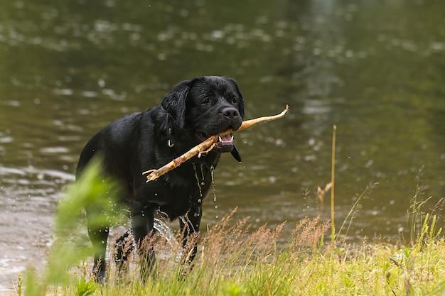 Labrador grande cane nero