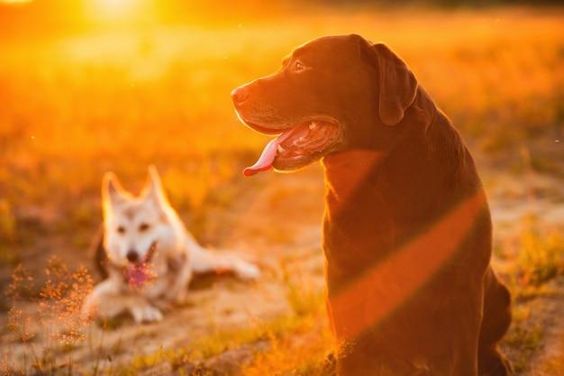 Labrador husky e marrone che si siede sul prato verde