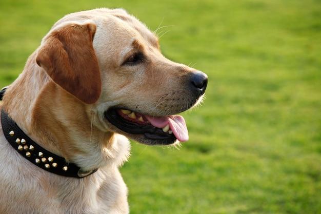 Labrador retriever attende il comando