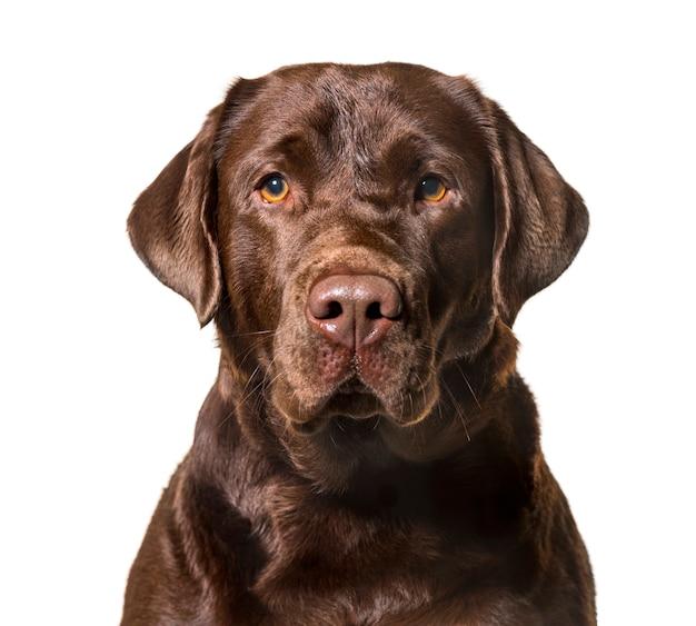 Labrador retriever che esamina macchina fotografica contro il fondo bianco