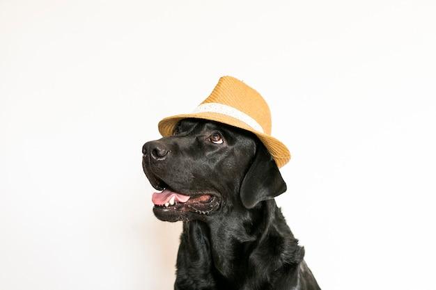 Labrador retriever nero adulto giovane isolato su fondo bianco che porta un cappello