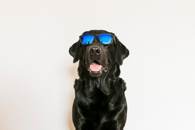 Labrador retriever nero adulto giovane isolato sugli occhiali da sole da portare della priorità bassa bianca