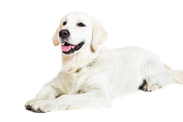 Labrador retriever su uno sfondo bianco